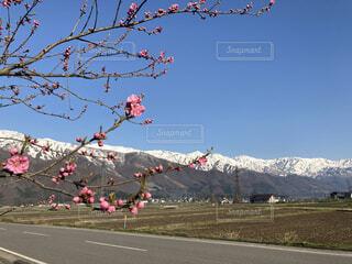 梅の花と春の山々の写真・画像素材[4354866]
