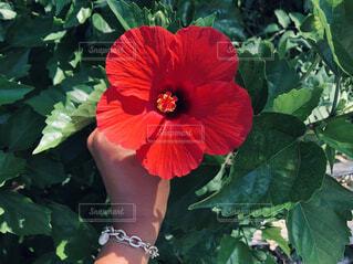 夏の花 旅女の写真・画像素材[4354882]