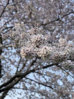 桜の写真・画像素材[4393510]