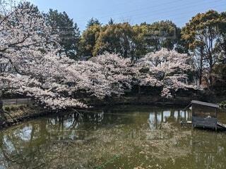 池の周りに咲く桜の写真・画像素材[4358596]