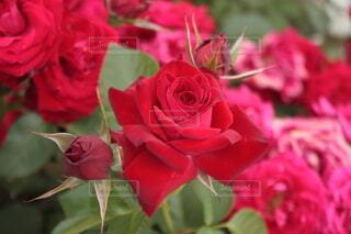 一斉に咲き誇る赤い薔薇の写真・画像素材[4361187]