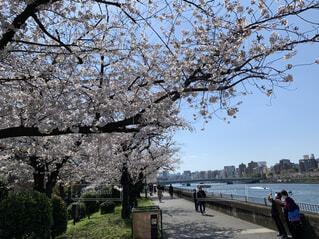 青空と桜の散歩の写真・画像素材[4361639]