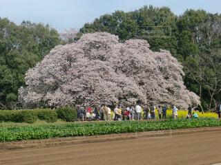 吉高の大桜の写真・画像素材[4362944]