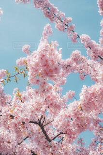 Blossomの写真・画像素材[4362961]
