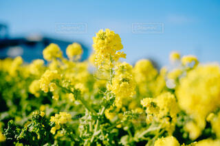 菜の花の写真・画像素材[4363298]
