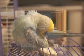 毛繕い中の鳥の写真・画像素材[4398457]