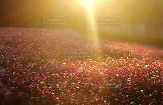 畑に咲くコスモスの写真・画像素材[4369291]