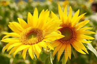 お花畑の写真・画像素材[186181]