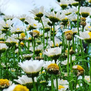 白い花達の写真・画像素材[4383329]