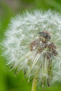 タンポポの綿毛でてんとう虫がかくれんぼの写真・画像素材[4402919]
