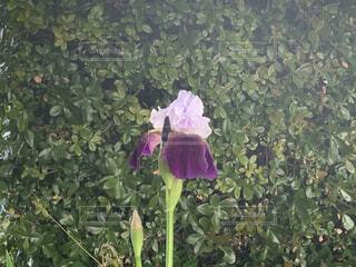 紫色の菖蒲の花の写真・画像素材[4381444]