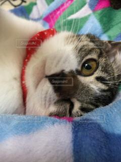 青い毛布の上の猫のクローズアップの写真・画像素材[4369486]