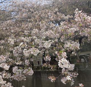 桜の写真・画像素材[4369660]