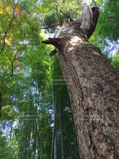 森の大きな木の写真・画像素材[943220]