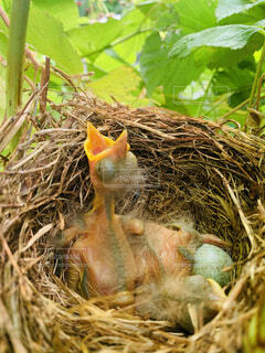 ひな 孵化 誕生の写真・画像素材[4373615]