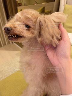 耳を触られて怒る犬の写真・画像素材[4408803]