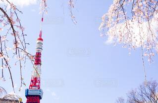 冬東京タワーと枝垂れ桜の写真・画像素材[4400672]