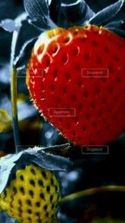 苺の写真・画像素材[4408292]