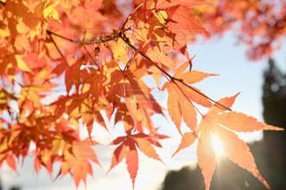 太陽に透ける紅葉の写真・画像素材[1658957]