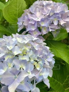 美しい満開の紫陽花の写真・画像素材[4549053]