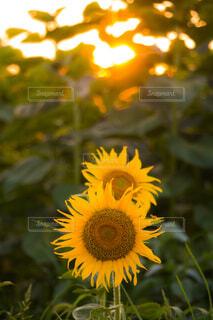 夕陽を背にした2本のひまわりの写真・画像素材[4560432]