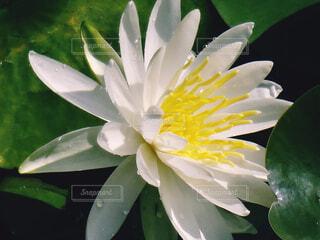 白い睡蓮の花の写真・画像素材[4457032]