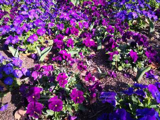 紫色の花で満たされた花瓶の写真・画像素材[3039745]
