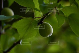 梅の実の写真・画像素材[4417467]