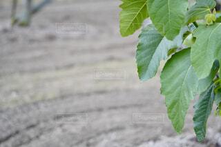 畑と植えられたイチジクの木の葉の写真・画像素材[4448805]