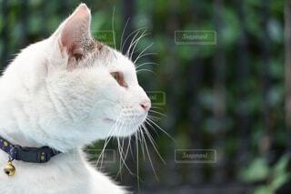 白ネコのクローズアップの写真・画像素材[4547188]