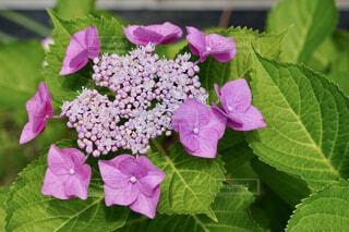 紫陽花のクローズアップの写真・画像素材[4574629]