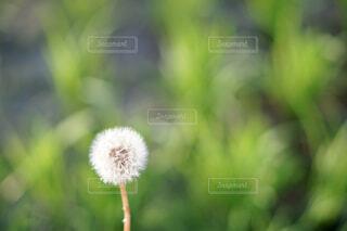 タンポポのクローズアップ写真の写真・画像素材[4618349]