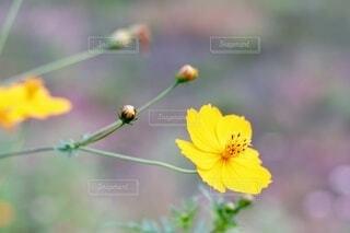 道端に咲くコスモスの写真・画像素材[4800292]