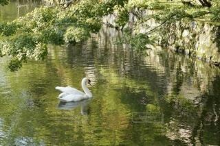 白鳥の写真・画像素材[4836705]