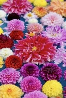 ダリアの花の写真・画像素材[4848685]