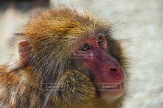 猿 - No.521305