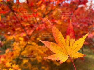色鮮やかな紅葉の写真・画像素材[4396475]