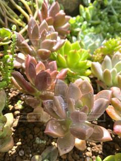 雨上がりの多肉植物(ブロンズ姫)の写真・画像素材[4389852]