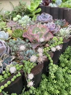 多肉花壇の多肉植物(ピーチネックレス)の写真・画像素材[4393175]
