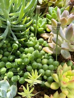 多肉花壇の多肉植物(グリーンネックレス)の写真・画像素材[4399196]