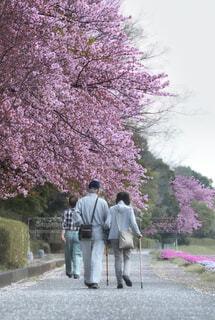 桜と歩くの写真・画像素材[4393878]