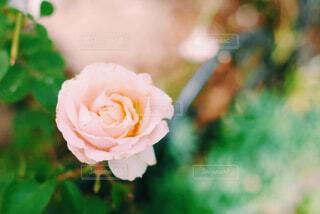 ピンクのバラの写真・画像素材[4394382]