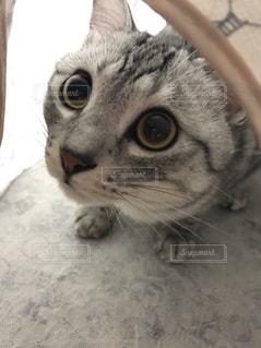 上目遣いで、カメラを見ている猫の写真・画像素材[1064745]