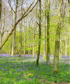イギリスのブルーベル絨毯の写真・画像素材[4396107]