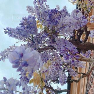 イギリスマナーハウスのライラックの写真・画像素材[4414169]
