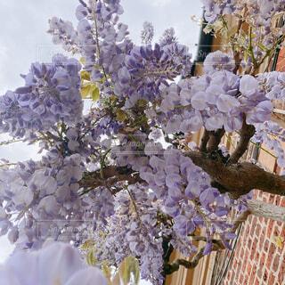 イギリスのマナーハウスに咲く藤の写真・画像素材[4414171]