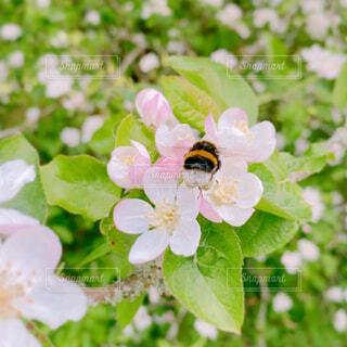 サクラとハチの写真・画像素材[4417058]