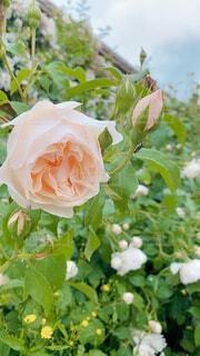 イギリスの薔薇の写真・画像素材[4572974]