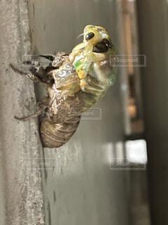 クマゼミの羽化の写真・画像素材[4654271]