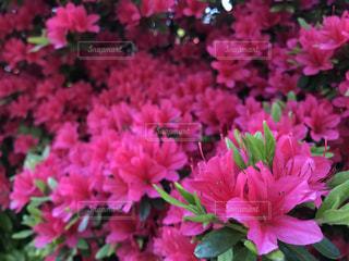 花の写真・画像素材[508762]